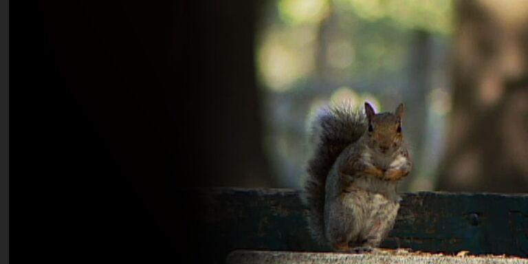 Focus Grigi contro rossi - la guerra degli scoiattoli