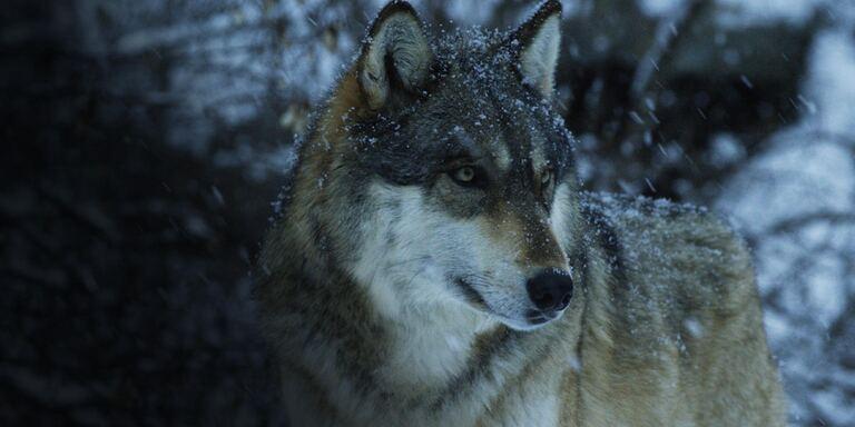 Focus Wild Nord America