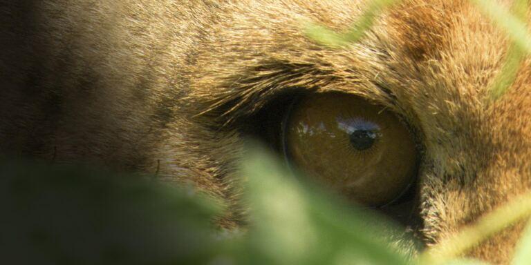 Focus Cuore di leonessa