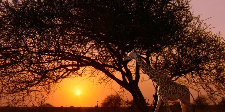 Focus Le ultime giraffe